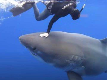 The Biggest Sharks Ever Found