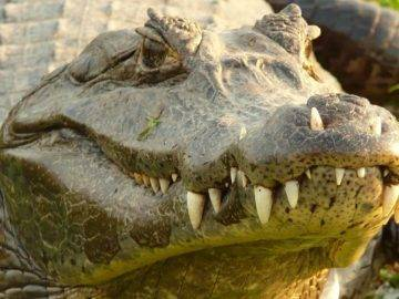 Top 15 Largest Crocodiles In The World!