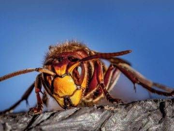 Can A Murder Hornet Kill You? What You NEED To Know!