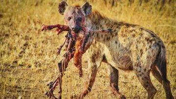Top 10 Animals With The Strongest BITE Force!