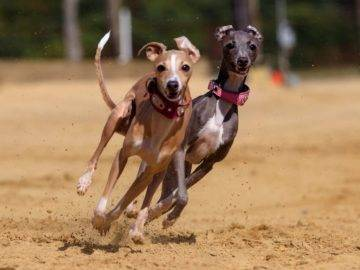 Top 10 FASTEST Dog Breeds In the World!