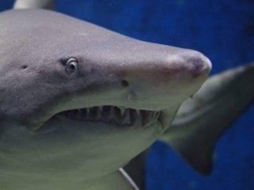 Top 15 Rarest Shark Species Hidden in The Ocean!