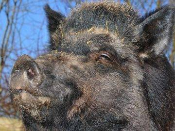 Top 15 STRANGEST Pigs You Won't Believe Actually Exist!
