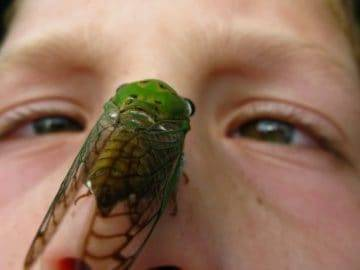 Would Would Happen If You Were Attacked By A Swarm of Cicadas?