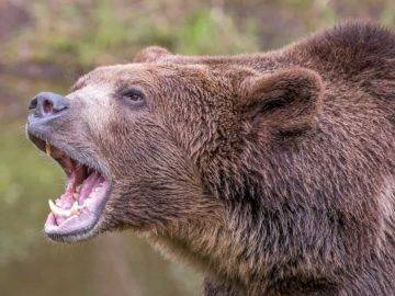 How to Survive a Bear Attack!
