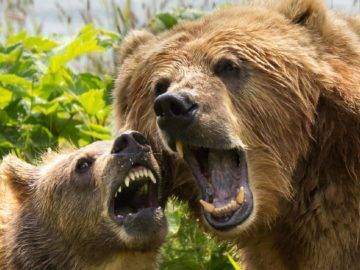 Top 10 Scariest Bear Encounters Caught On Camera!