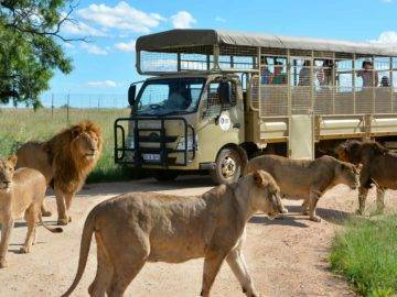 Top 10 Times Lions Reminded Safari Tourists To Stay INSIDE Their Cars!