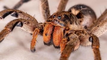 Top 15 Deadliest Spiders In The World (That Can Kill You)