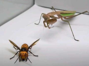 Praying Mantis vs Murder Hornet. Who Wins? Who Dies?