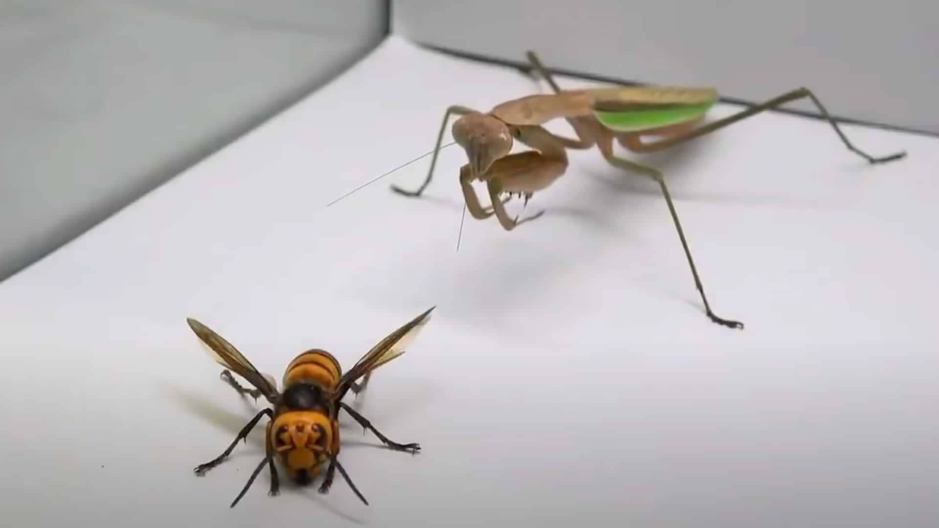 Praying Mantis vs Murder Hornet. Who Wins? Who Dies?