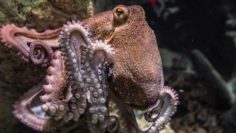 Could Octopus Actually Be Aliens From Outer Space?