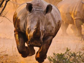 How To Survive A Rhino Attack?