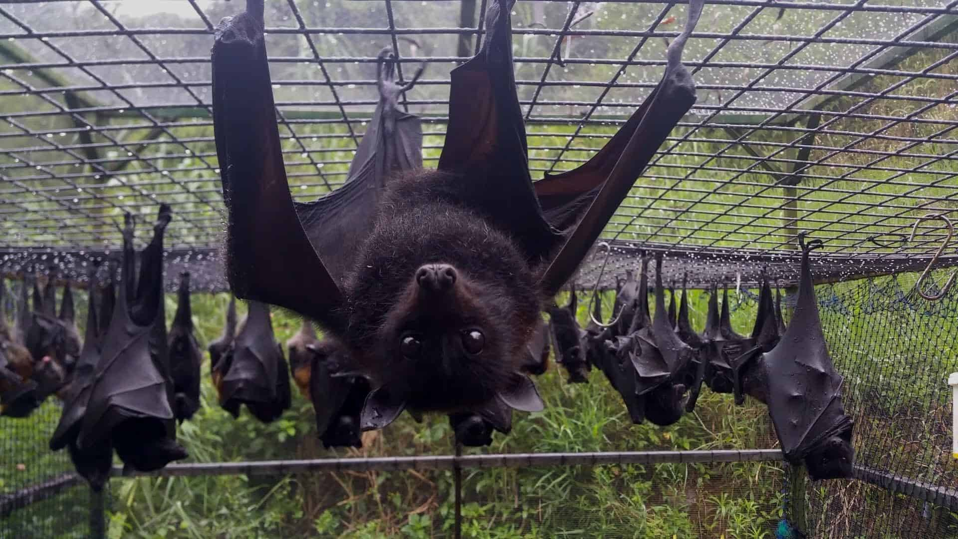 What If Giant Bats Were The Same Size As Humans?